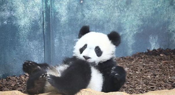 """首只在法国出生熊猫宝宝""""圆梦""""生活近照曝光 尽显呆萌可爱"""