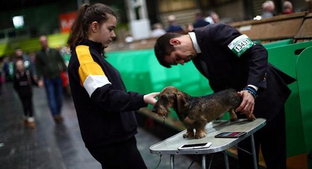 英国伯明翰犬展持续进行 汪星人优雅造型引瞩目