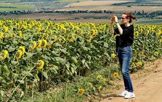 烏克蘭:葵花盛放