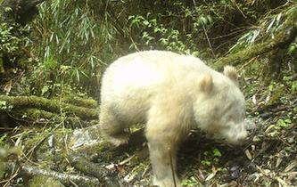 四川臥龍拍攝到首張白色大熊貓照片