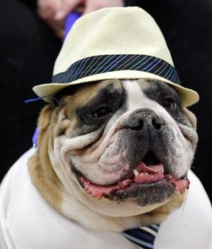 美國鬥牛犬選美大賽