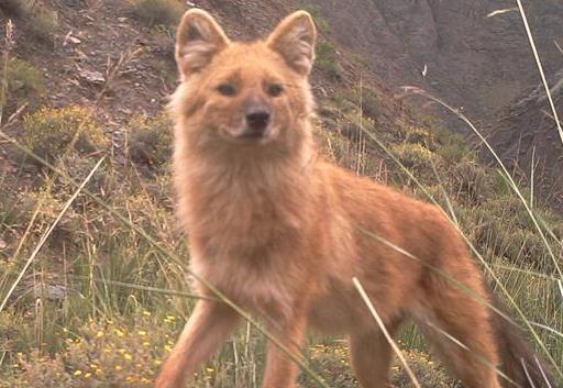 科研人員首次利用紅外相機對祁連山青海側開展野生動物調查