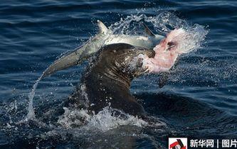 看看誰厲害!圖片直擊海獅大戰長尾鯊