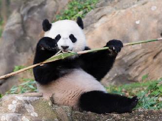 """旅美大熊貓""""寶寶""""成長記"""