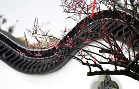 江蘇:大豐梅花文化節開幕