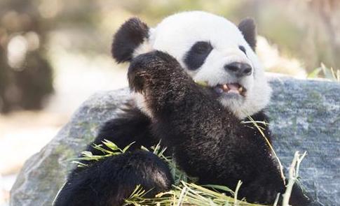 假期去看大熊貓