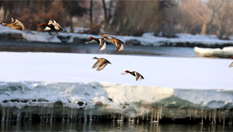 新疆額爾齊斯河覆冰加速融化 吸引鳥兒來安家