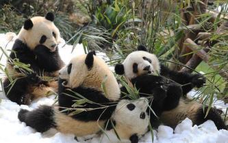 成都大熊貓寶寶雪地撒歡迎新春