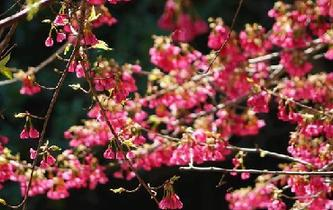 櫻花初綻引客來