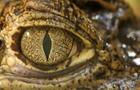 """""""鱷魚的眼淚""""之説從何而來?"""