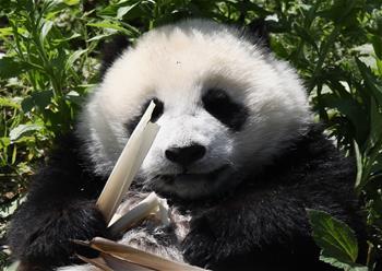 """藏在綠水青山間的大熊貓""""幼兒園"""""""