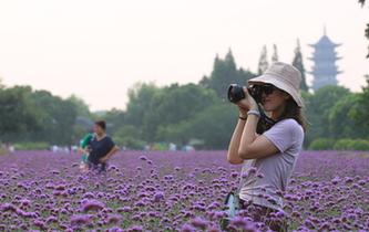 烏鎮馬鞭草盛放 紫色浪漫來襲