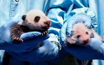 廣州長隆大熊貓家族再添新成員