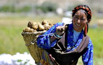西藏日喀則土豆豐收