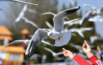 紅嘴鷗連續34年飛臨昆明越冬