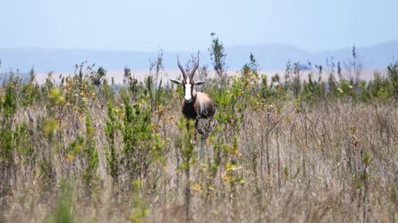 持續努力使南非白紋大羚羊脫離滅絕險境